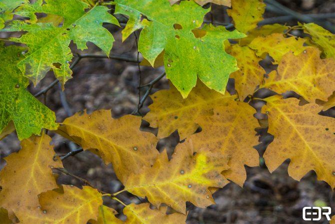 Herfst – eikenbladeren